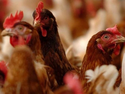 Smell and health worries over chicken farm plan