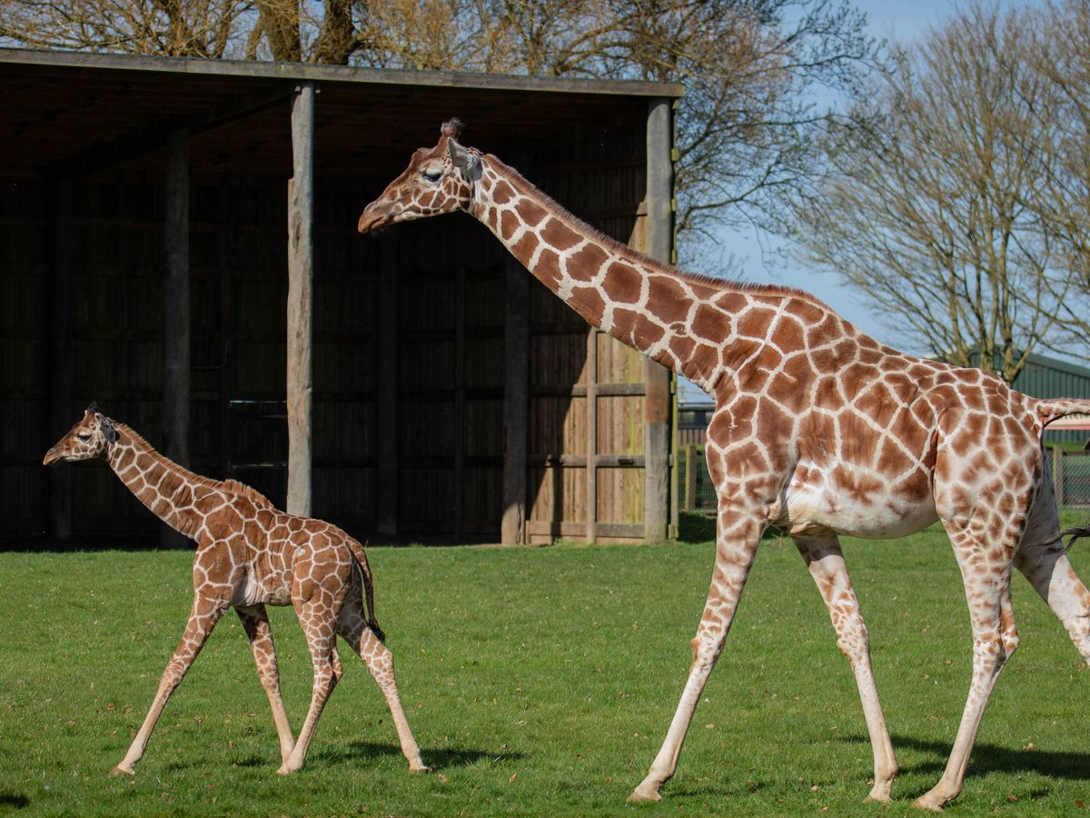 Margaret the giraffe calf takes her first steps outside at Whipsnade Zoo