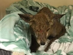 Shampoo and massages for poorly fox suffering from mange