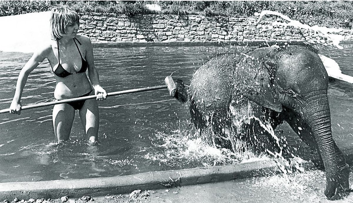 Dudley Zoo keeper Joanne Blount is only too ready to join baby elephant Estar for a dip in the pool during the heatwave in 1979
