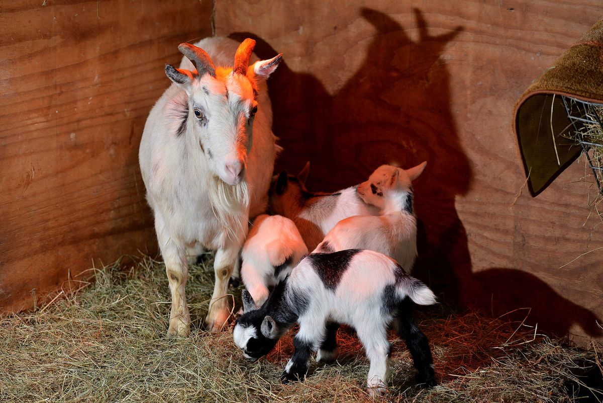 Cassey the pygmy goat gave birth to four kids on Christmas Day in the 'exceptionally rare' occurrence
