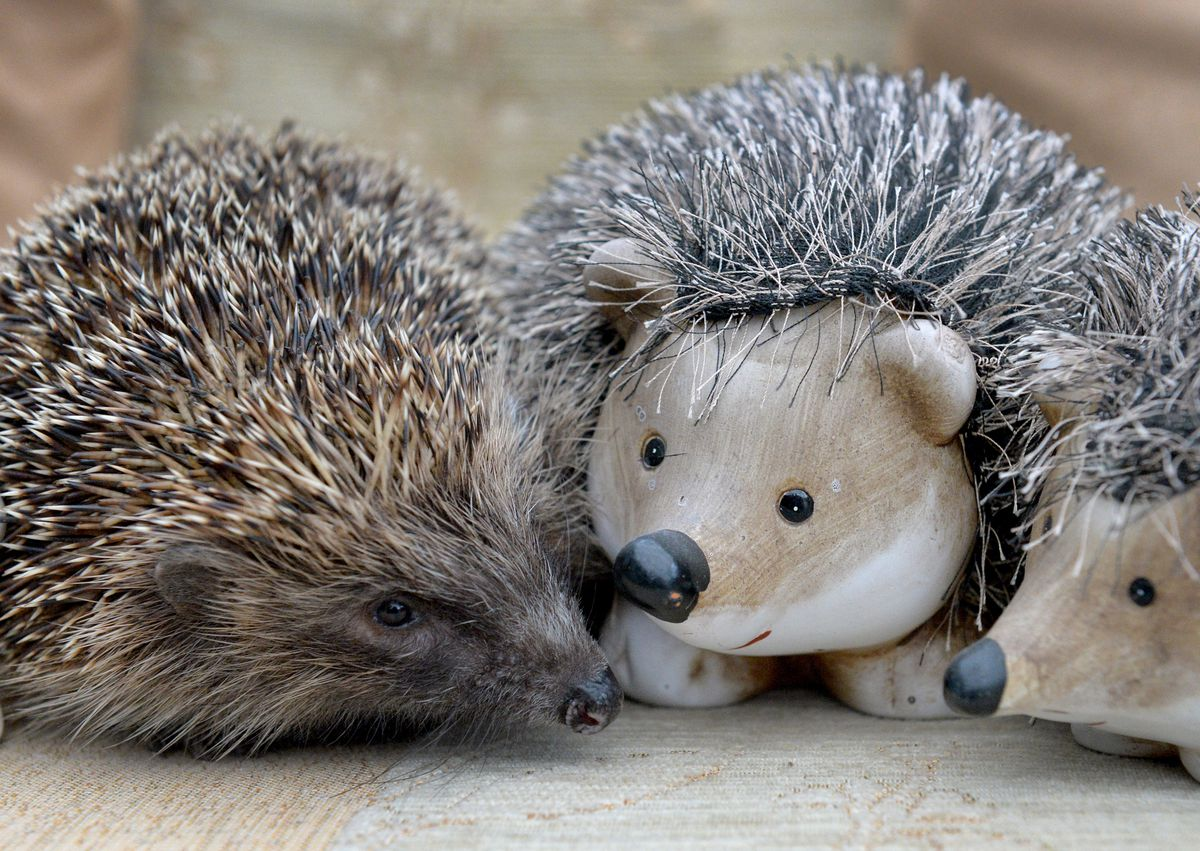 Hedgehogs can get stressed if they are handled unnecessarily