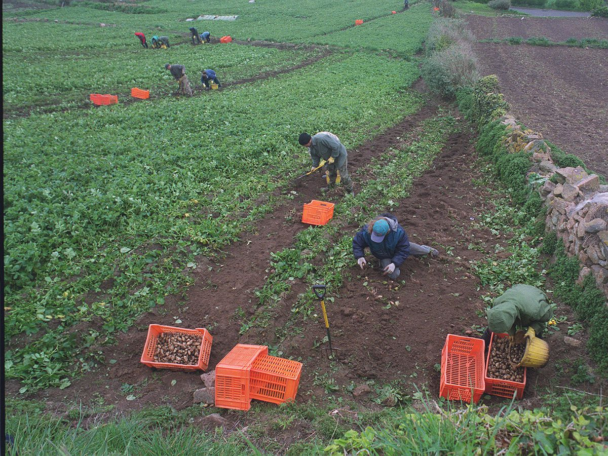 01-1335 digging potatoes at l'etacq st ouen. Field owned by NS Cook. First field to be dug.  Digging on  Easter Sunday  pic david ferguson  15/4/01 (FARMING) (AGRICULTURE) new spuds, digging potato's, jersey royals (seasonal workers, immigrant labour)