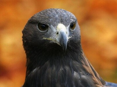 Golden eagle 'attacked by another bird'