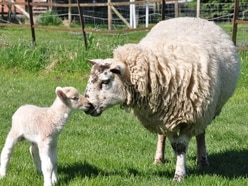 Oswestry farm attraction to reopen doors next week
