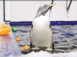 Flash the baby penguin gets its water wings at Birmingham Sea Life Centre - with pictures