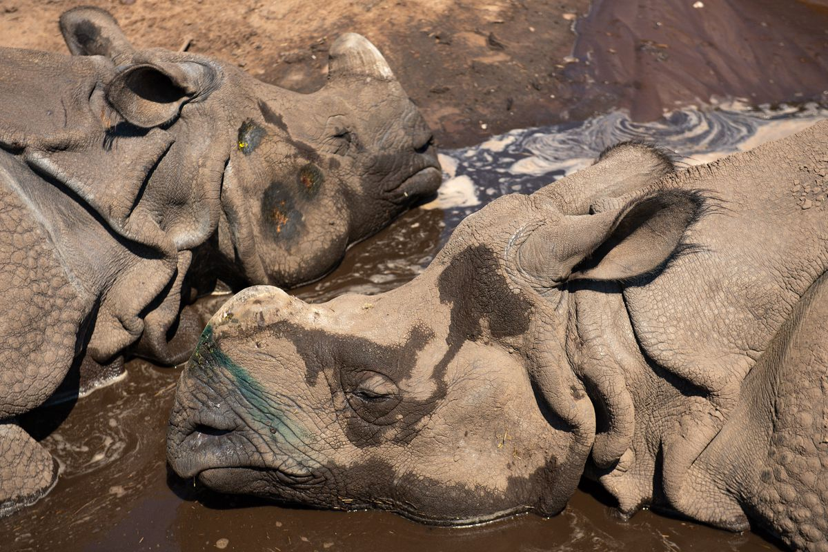 Indian rhinoceros Sunanda and Seto cool down at West Midland Safari Park in Bewdley