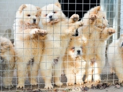 Puppy buyers falling victim to 'dogfishing' smugglers