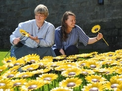 Meadow of sunflowers shine for hospice