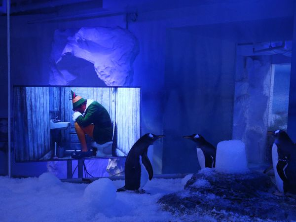 Gentoo penguins watching Christmas movies at the Sea Life Centre London Aquarium