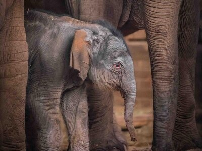 Chester Zoo announces arrival of new baby Asian elephant