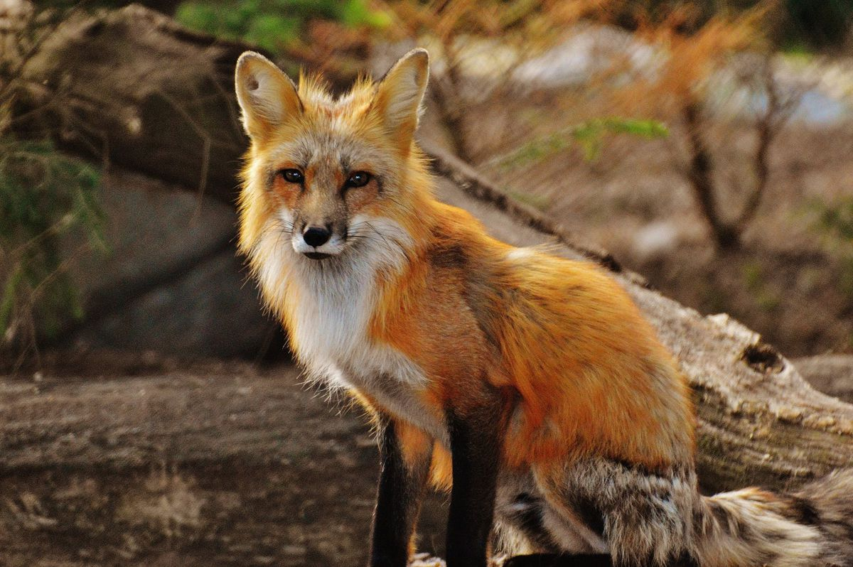 Stock image of a fox