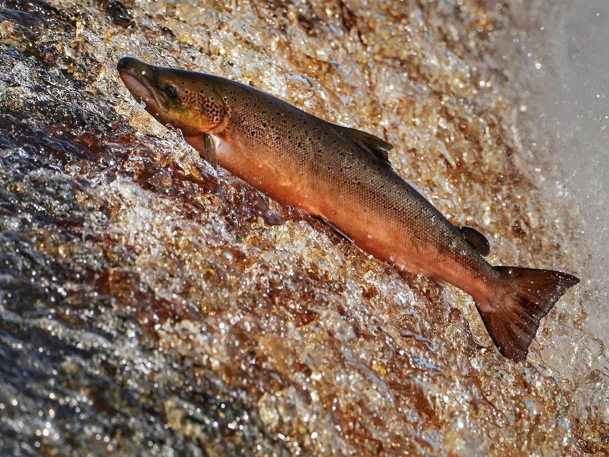 Salmon on River Tyne