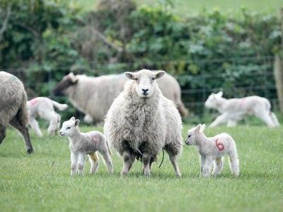 Brutal sheep rustling rise sparks new warning
