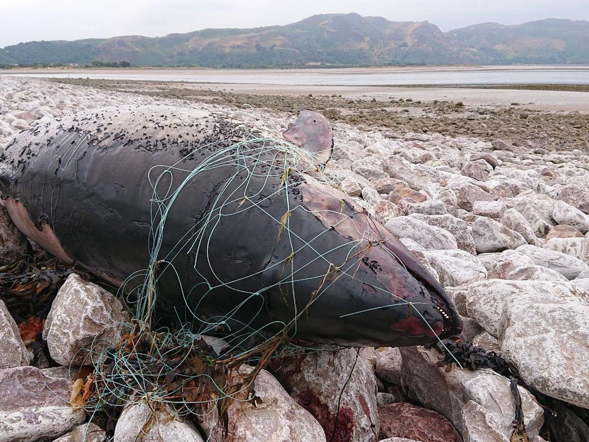 A porpoise on the beach in Conwy