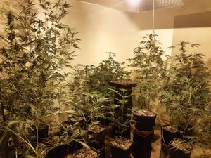 The cannabis found at the address in Ketley Bank