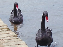 Peter Rhodes on a black-swan event, a perfect evening and not that Tom Jones, the other one