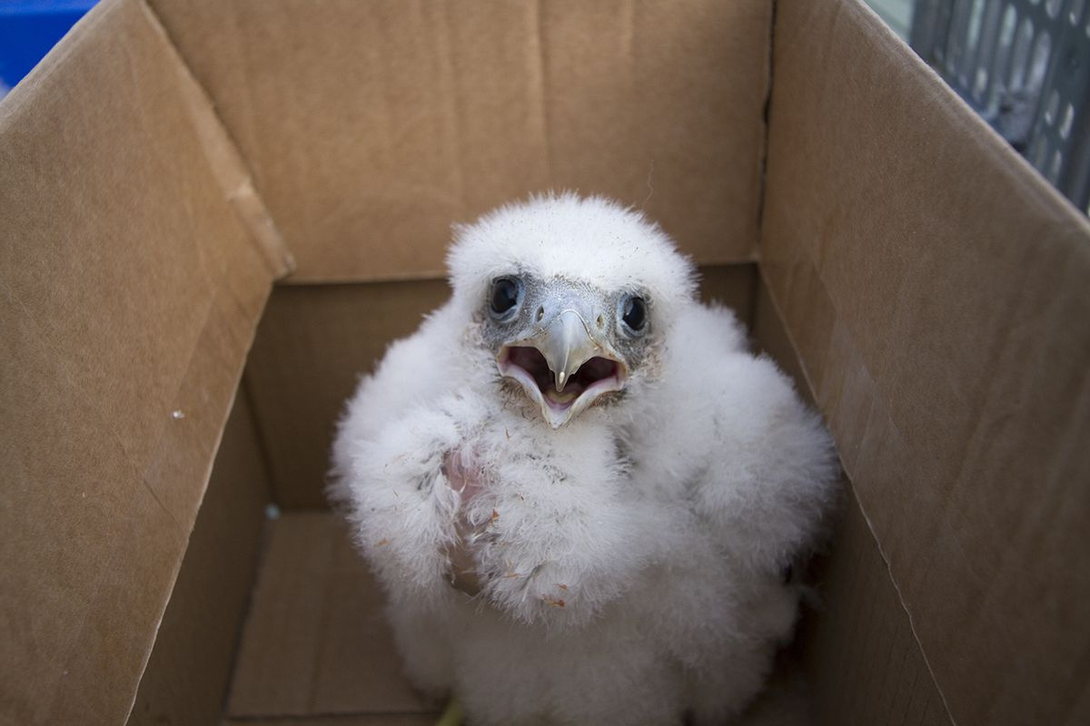 One of the peregrine chicks left behind after its parents were found dead on Clee Hill