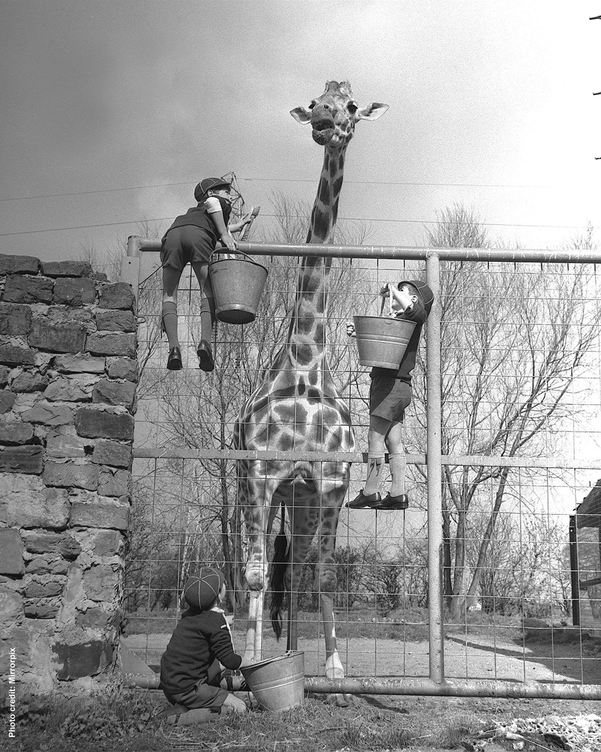 1960 - The tallest giraffe ever recorded (at the time) was a Masai bull living at Chester Zoo, named George. He featured in the Guinness Book of Records and measured just under 20 feet in height.