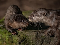 First swimming 'lessons' for otter pups at Chester Zoo - in pictures and video