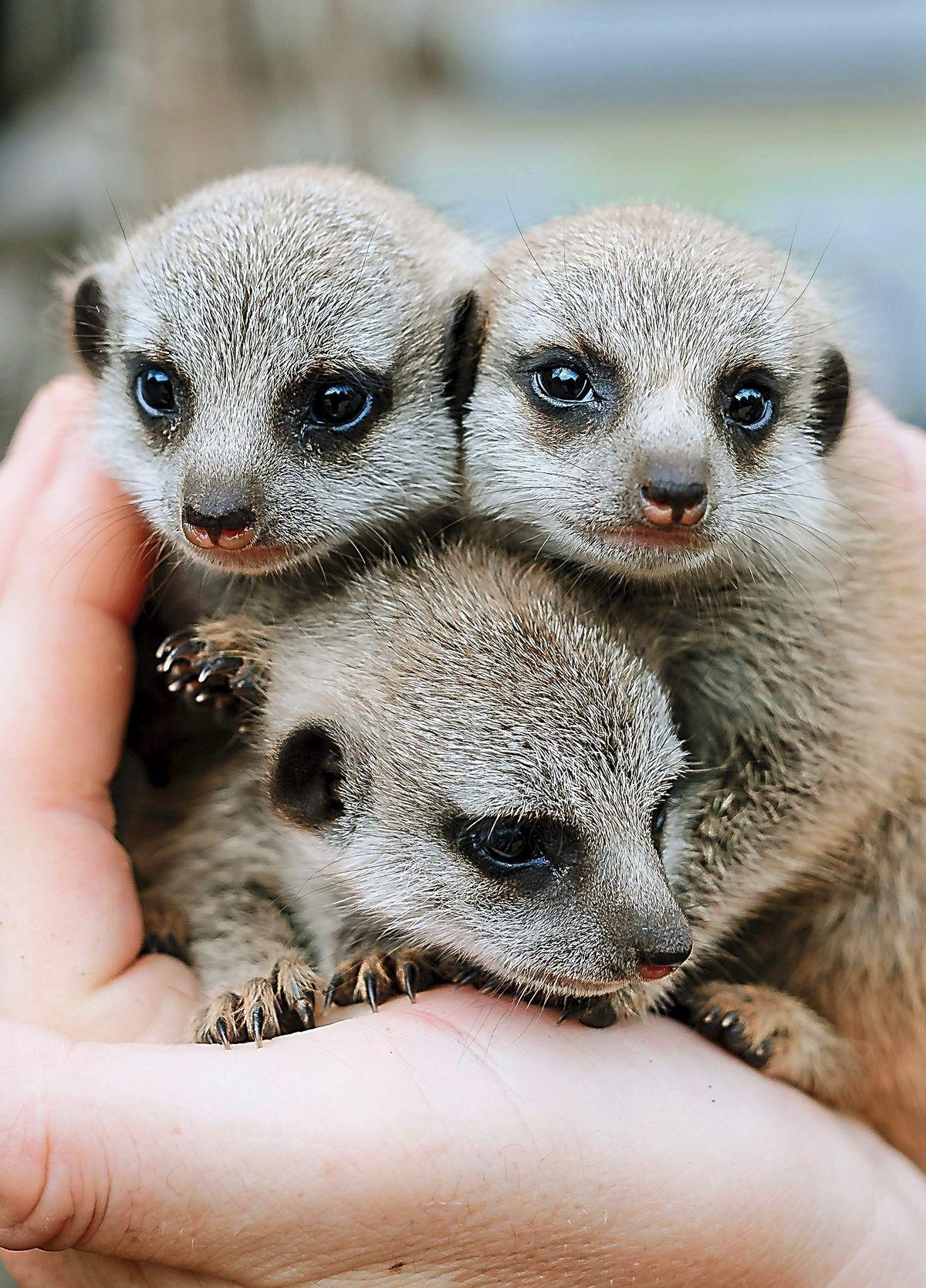 Baby Meerkats born at Exotic Zoo in Telford