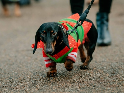 More than 100 turn out for Shrewsbury sausage dog walk