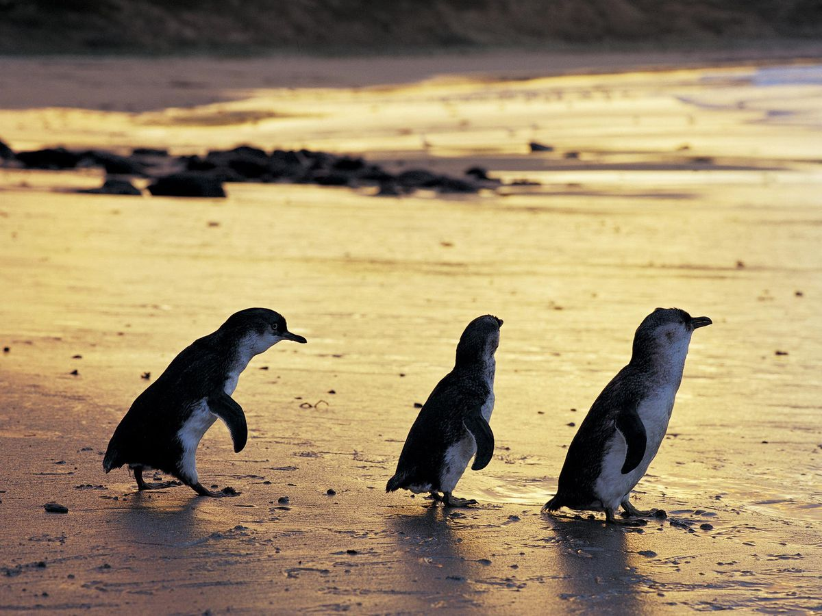 Penguin Parade to be streamed live from Victoria, Australia