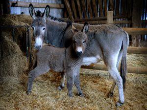 The new baby donkey at Bodenham Arboretum, pictured with mum