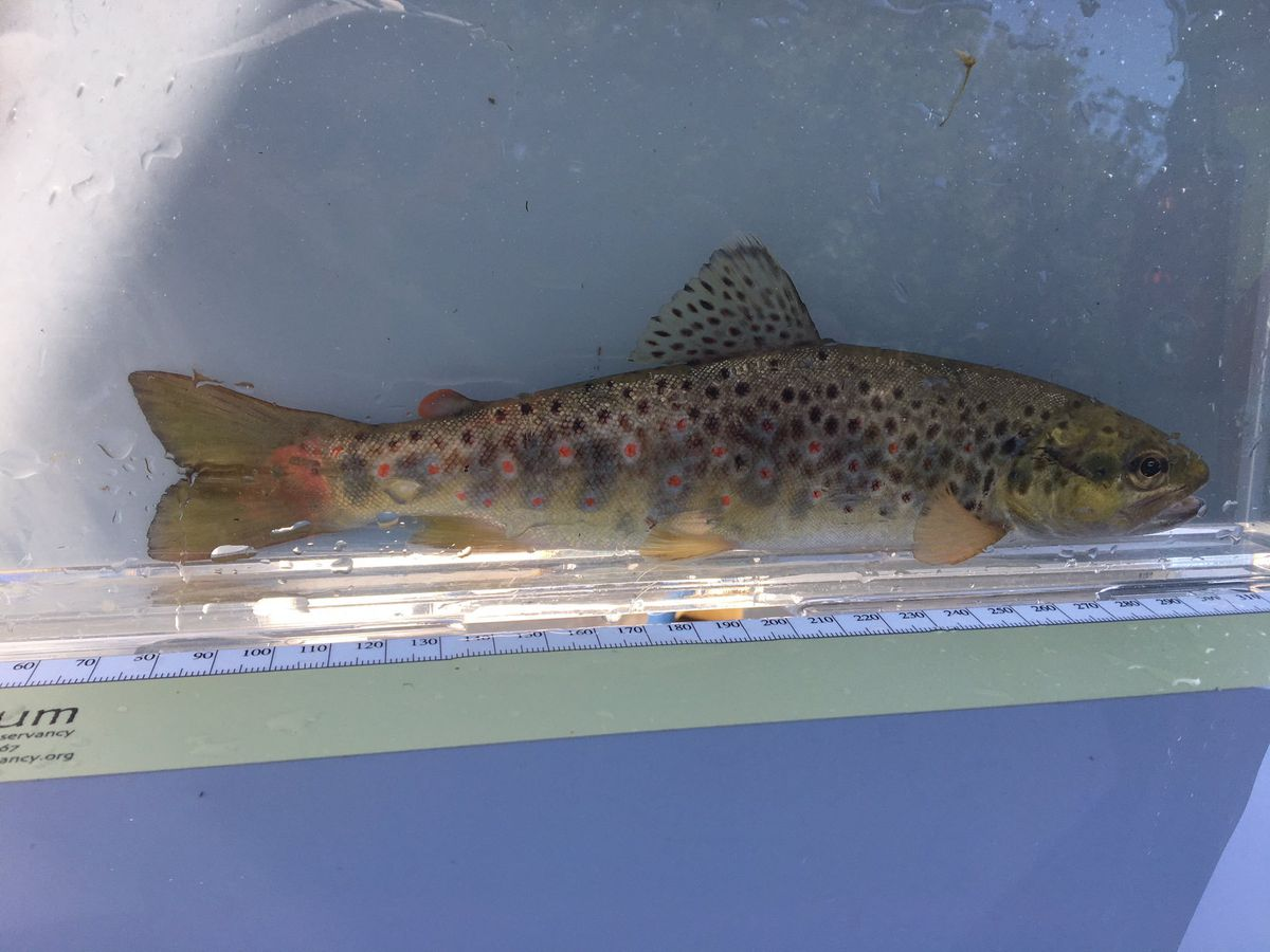 One of the trout that was rescued from the River Redlake. Picture: Dave Throup
