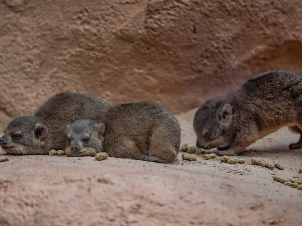 Visitors buzzing with the arrival of cute rock hyrax pups at Chester Zoo