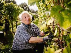 Halfpenny Green Vineyards have had a bumper crop of grapes this year. Volunteer Cynthia Jones gets to work.