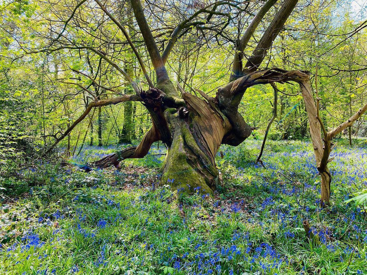 Bluebell tree at Combermere Abbey