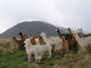 Alpacas in their natural habitat in Ecuador, South America - picture is by Philippe Lavoie who has donated it to the public domain.