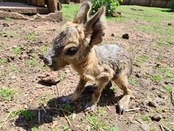 Cute new arrivals at Telford's Exotic Zoo as Patagonian mara gives birth