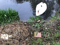 Vandals smash swan eggs at Whittington Castle