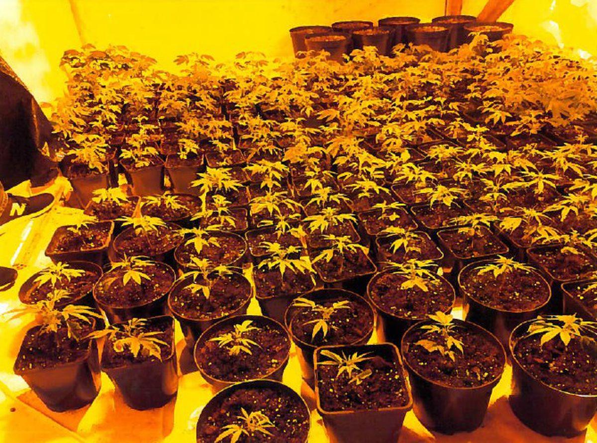 The cannabis farm found near Ludlow