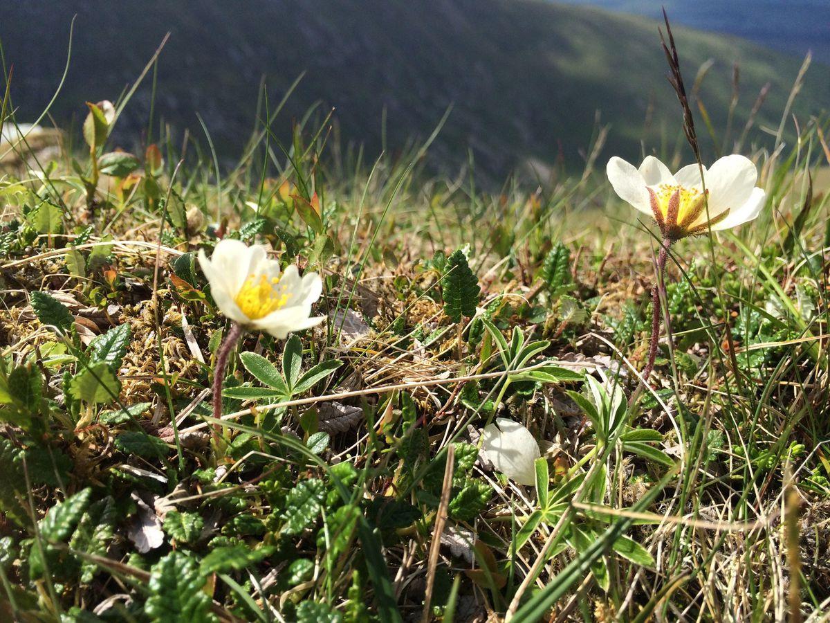 Mountain avens like cold, sunny locations (Jahama Highland Estates/PA)