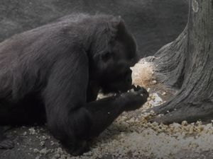 A gorilla eating popcorn