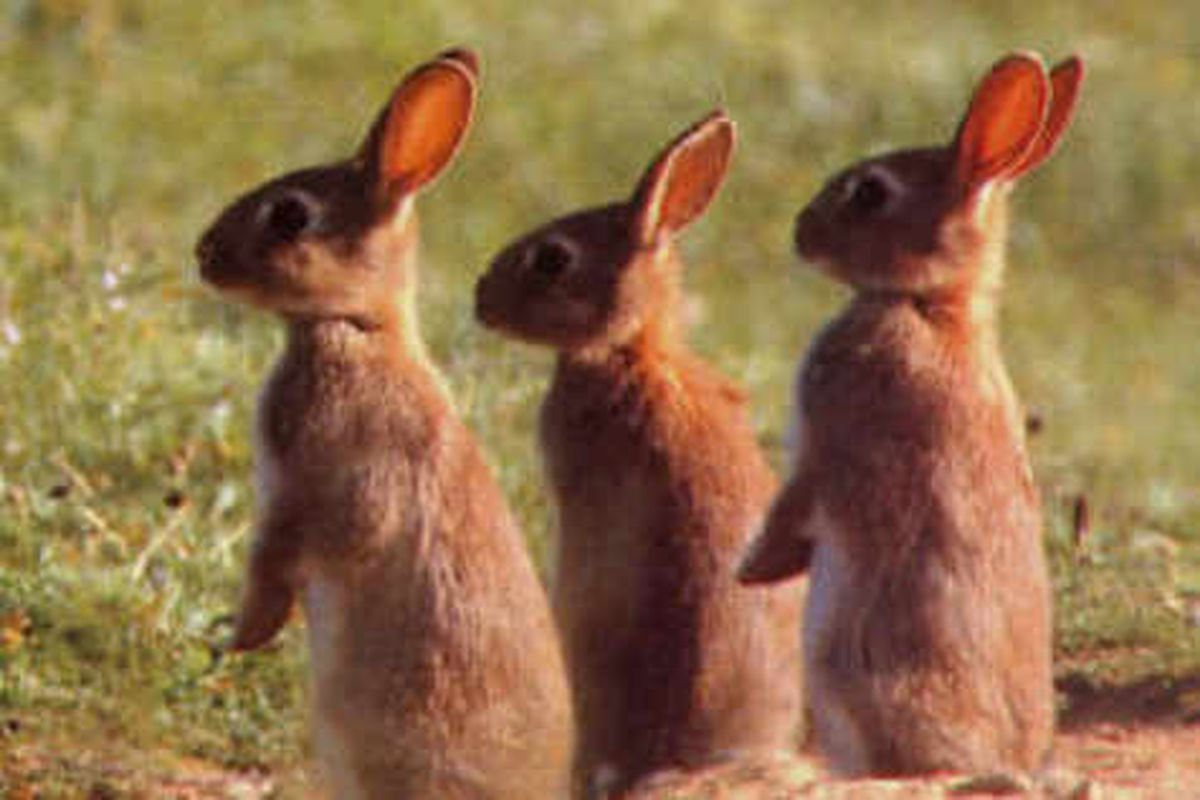 Plans to gas Welshpool rabbits 'inhumane'