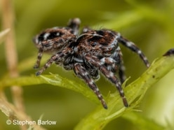 More than an incy wincy spot of good news as rare spider turns up in Shropshire