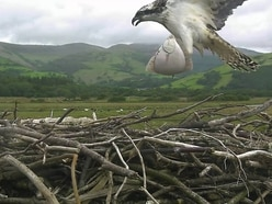 Catch of the day as osprey snatches fish