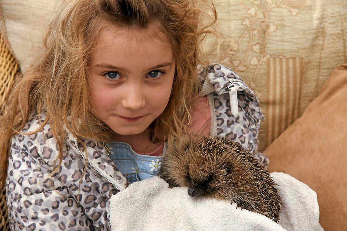 Oswestry family helping to save the humble hedgehog