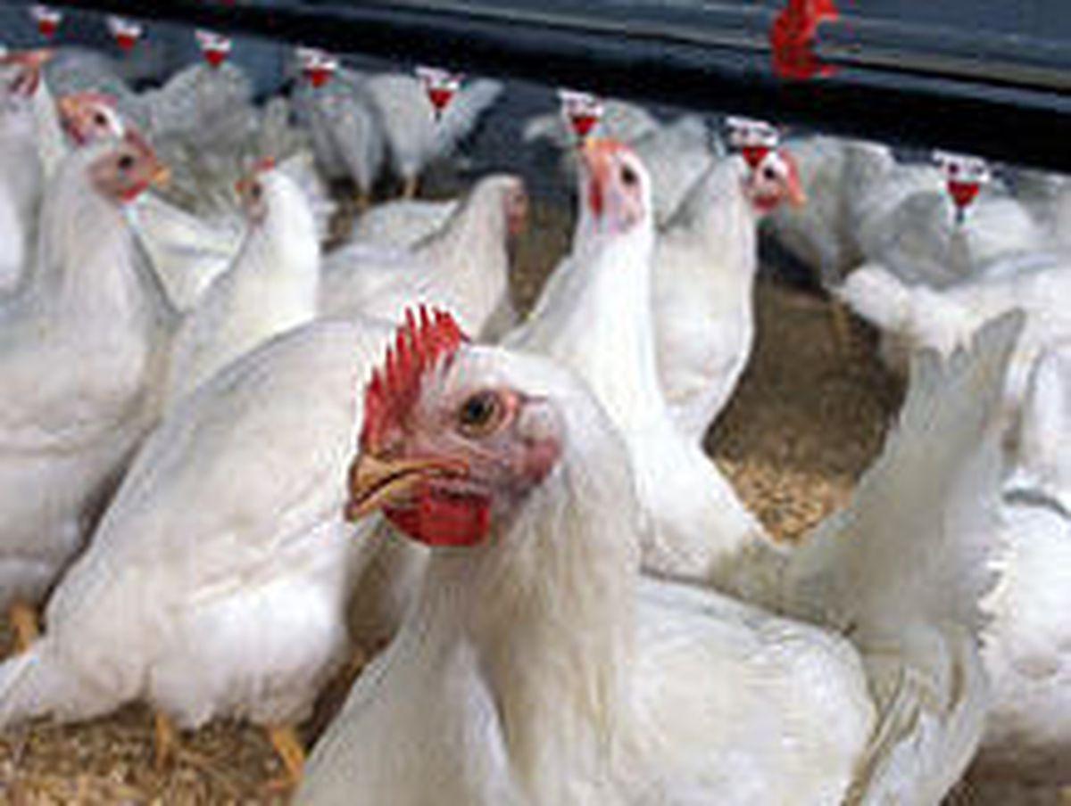 A broiler chicken