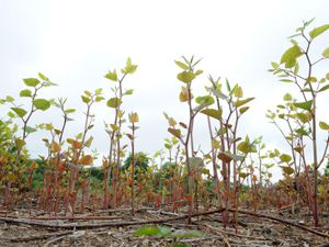 Japanese knotweed. Photo: Environet UK