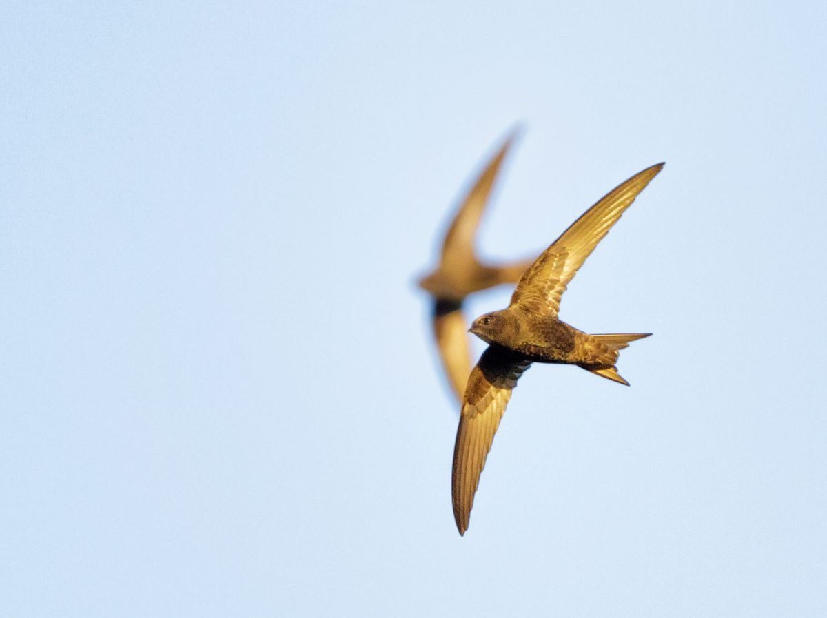 There has been a dramatic decline in the number of swifts in recent years