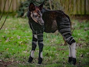 A rare okapi has been born at Chester Zoo