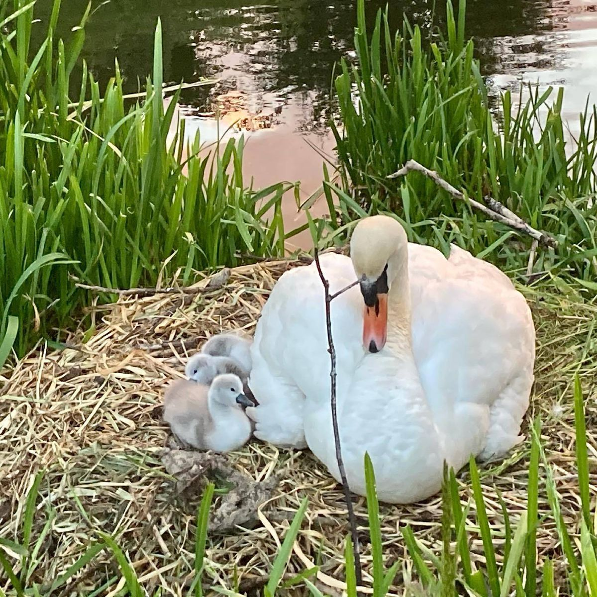 Beatrice and three of her cygnets