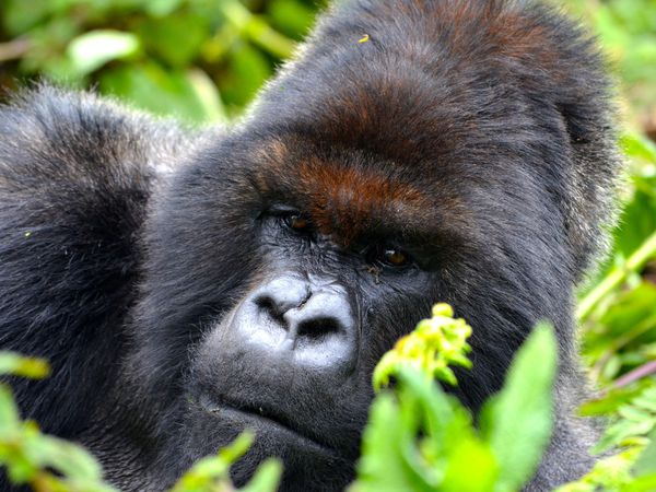 Mountain gorilla survey