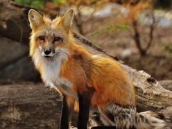 Fox hunt trespass on nature reserve sparks concern for wildlife on verge of extinction