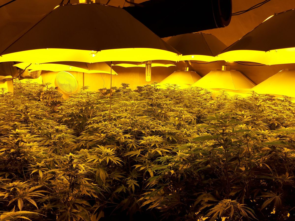 About 900 plants were seized. Photo: West Mercia Police